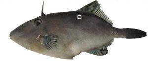 adfm2034fish02