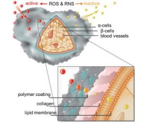 Polymer coating protects pancreatic islet cells by deactivating inflammatory reactive oxygen (ROS) and nitrogen species (RNS).