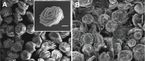 Scanning electron microscope images of A) Co(OH)2 flower-like microstructures (high resolution inset, scale bar = 5 & #956;m), and B) the microsctructures homogeneously embedded in a reduced graphene oxide hydrogel matrix