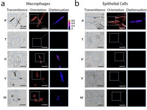 Quantitaive polarization microsocpy of macrophages and eithelial cells incubated with different phenazine compounds.