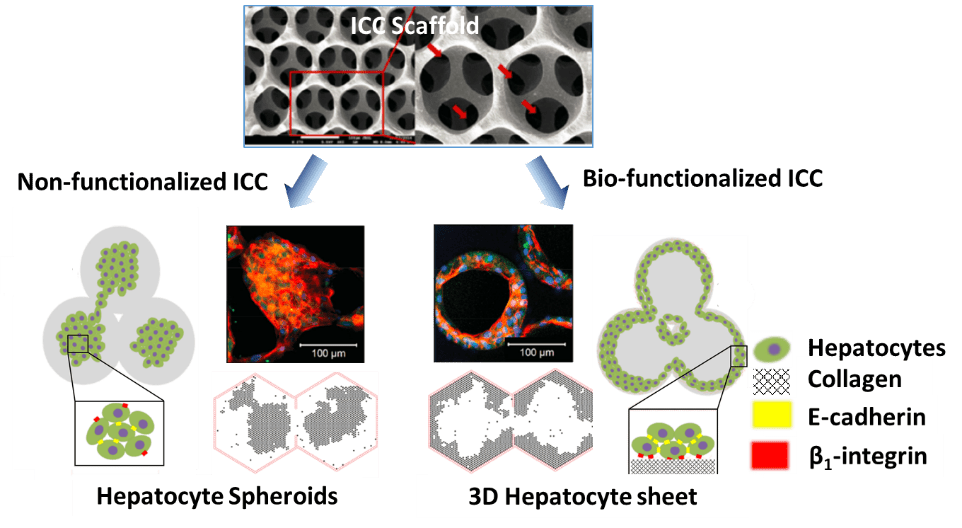 Biofuntionalized_Hydrogels_Tissue_Engineering
