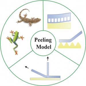 peelingmodel
