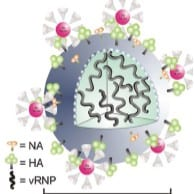Gold Nanoparticles to Beat the Flu
