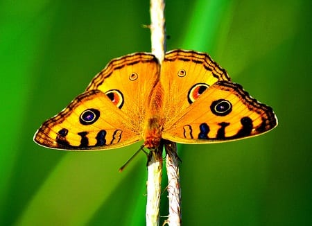 Analysis on the Wing: Surface Enhanced Raman Spectroscopy on Copper Butterfly Wings