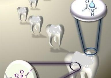 New dental adhesives containing bisphosphonates or a bisphosponic acids.