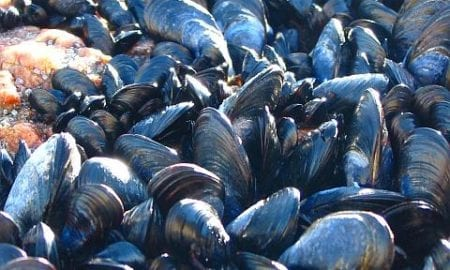 Mussel adhesive protein