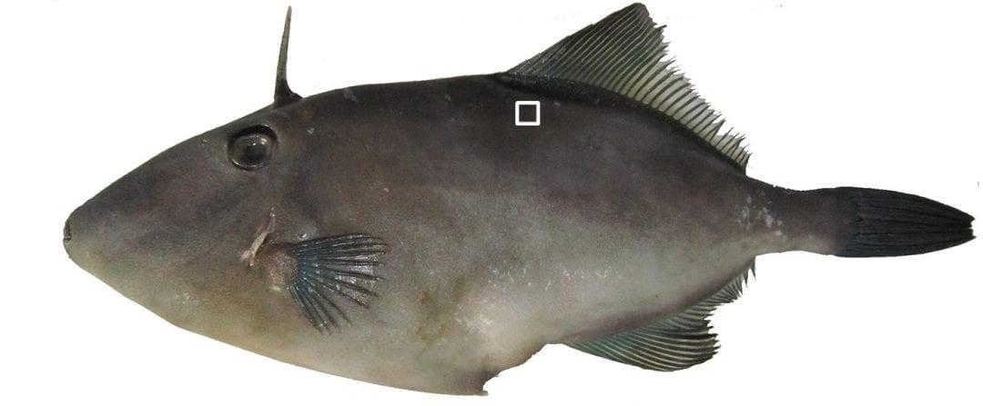 Oleophobicity: this fish won't cry over spilt oil