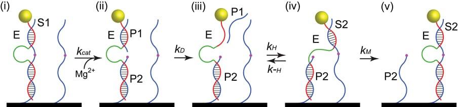 Molecular motor can walk nanoparticles along nanotubes