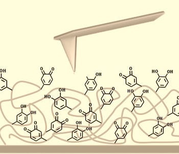 Ordered structure boosts DOPA-mediated adhesion
