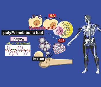 Poly(phosphate) for Bone Formation
