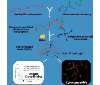 Biosynthetic polypeptides cross-linked via thiol-ene chemistry