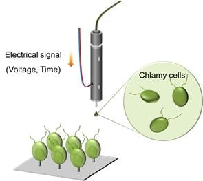 Direct insertion of nanowires into living algal cells