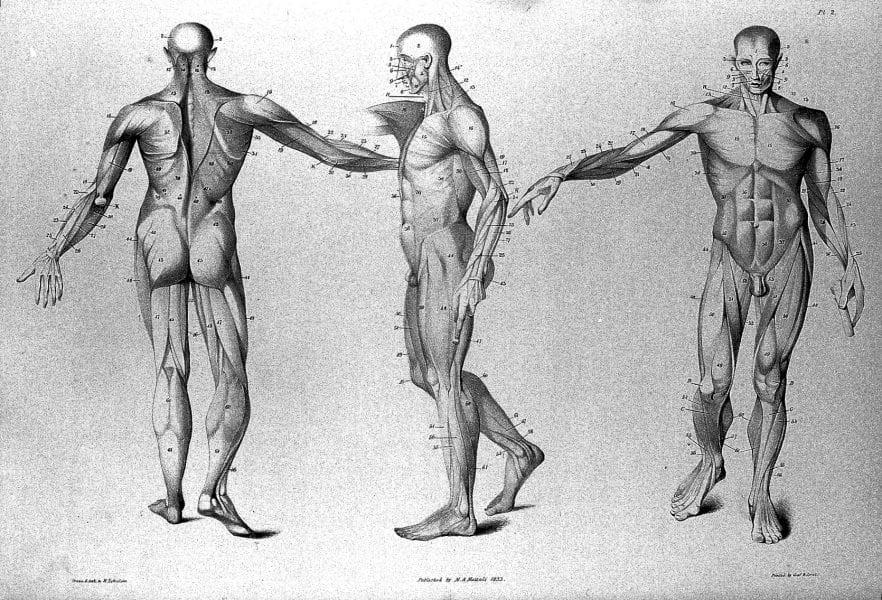 anatomy of a man
