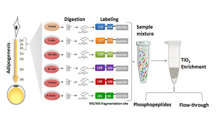 How fat cells become fat: Insights from phosphoproteomics