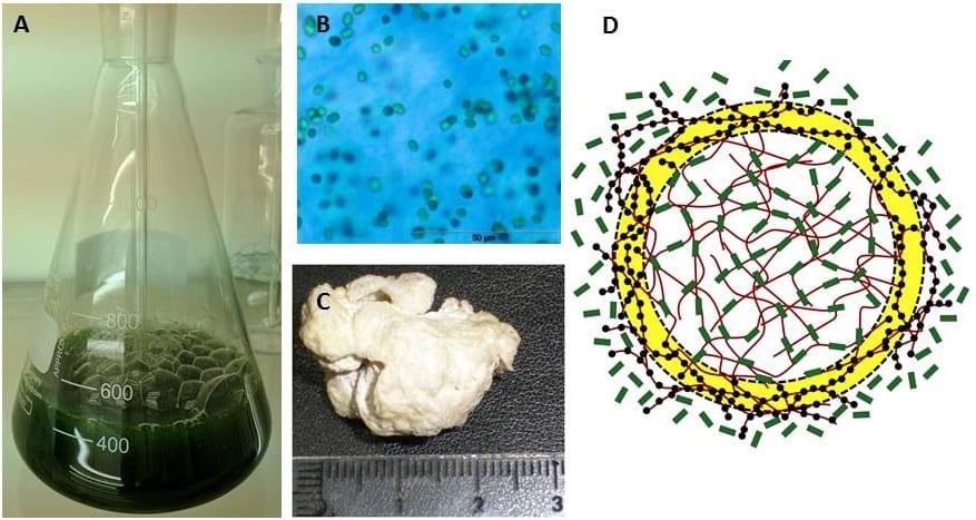 Feeling Blue – Cyanobacterial Polymer Delivers Drugs