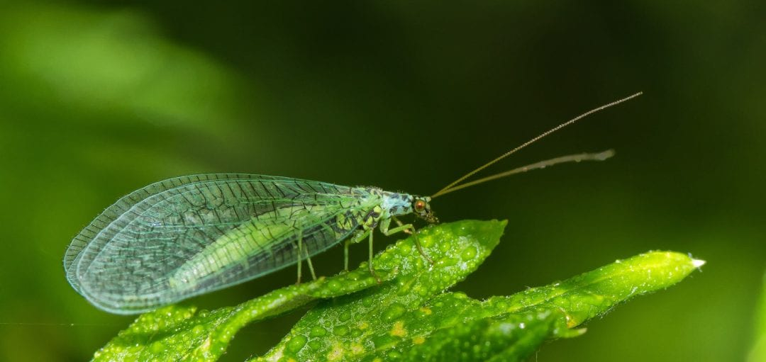Biofibers Made from Green Lacewing Silk - Advanced Science ...