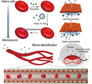 Red blood cells to microreactors conversion