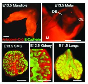 Rebustini, I.T. 2017, Curr. Protoc. Cell Biol. 74:19.19.1-19.19.17.