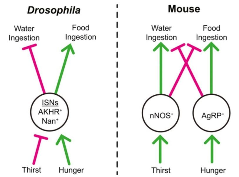 neurons balancing hunger and thirst