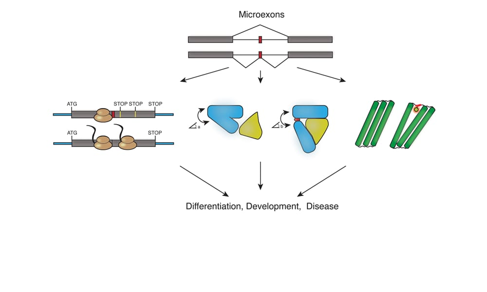 Microexons: Discovery, Regulation, and Function
