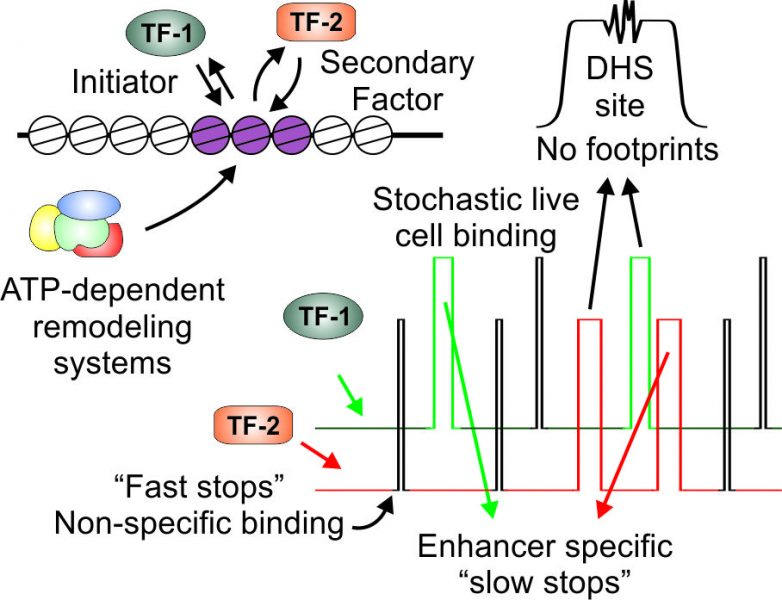 Dynamic Enhancer Function in the Chromatin Context