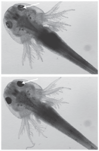 Images of 17-d-old axolotl embryos after injection with Cas9-GFP or Cas9-TagRFP RNP targeting the Tyr gene, respectively (top and middle panels), or non-injected embryos (control). Disruption of theTyr gene leads to loss of pigmentation and can be best observed in the eye pigmentation of the embryo (indicated by white arrows).