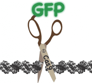 Purified Cas9 Fusion Proteins for Advanced Genome Manipulation - Graphical Abstract