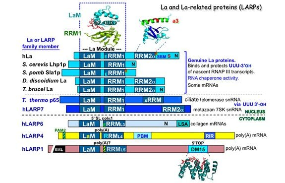 The LARPs, La and related RNA-binding Proteins: Structures, Functions, and Evolving Perspectives