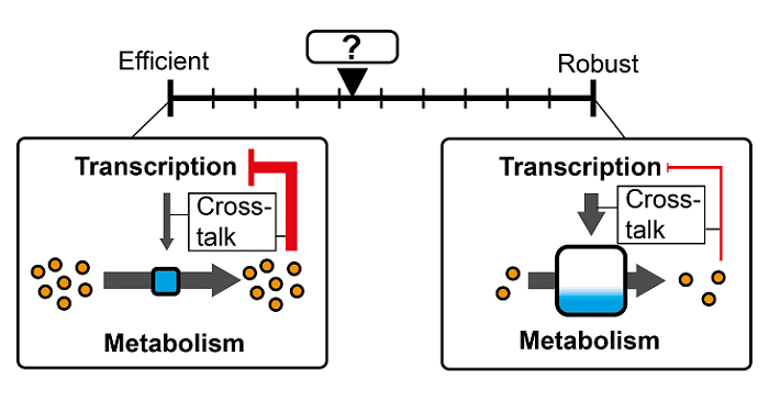 Crosstalk Between Transcription and Metabolism: How Much Enzyme is Enough for a Cell?