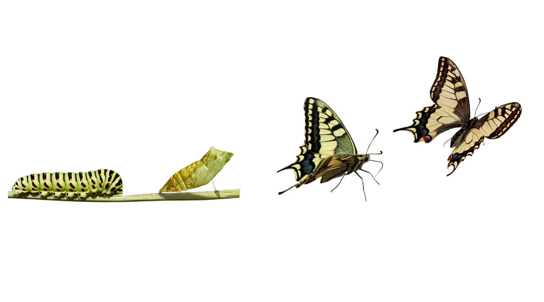 Mimicry in Butterflies: The Muse, the Palette and the Artist