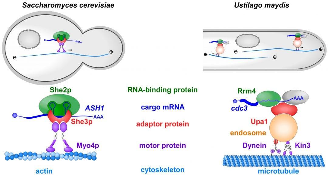 mRNA Transport in Fungal Top Models
