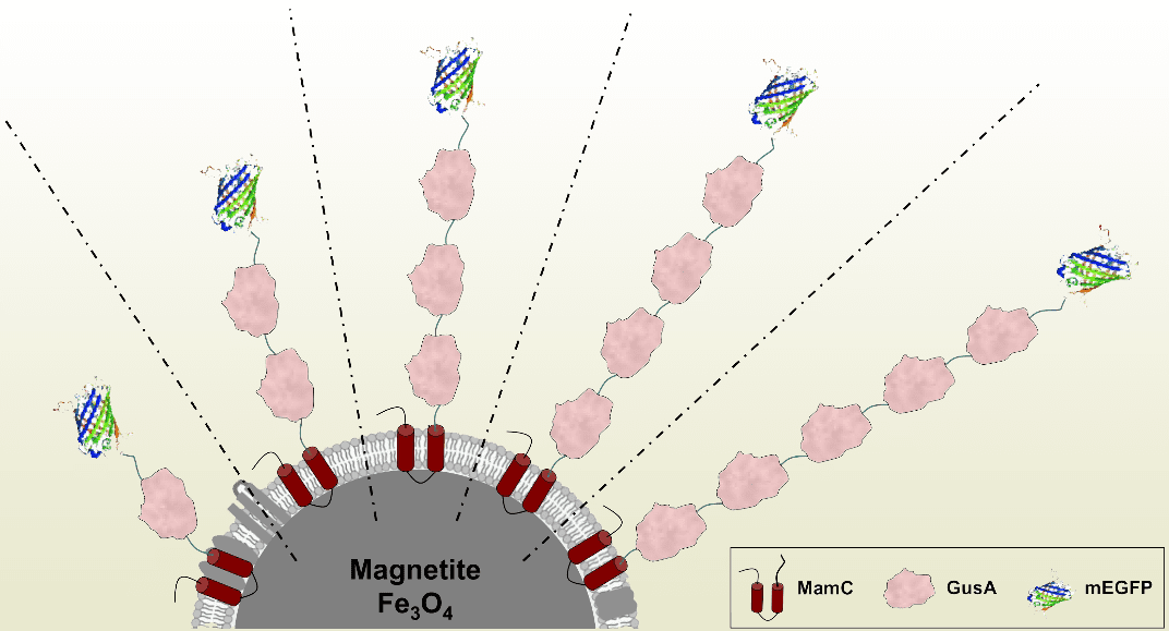 Magnetosomes: Natural Magnetic Nanoparticles for Biomedical Applications