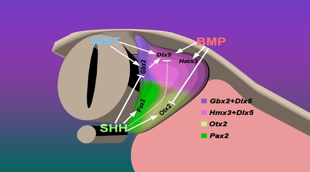Hearing Crosstalk: The Molecular Conversation Orchestrating Inner Ear Dorsoventral Patterning