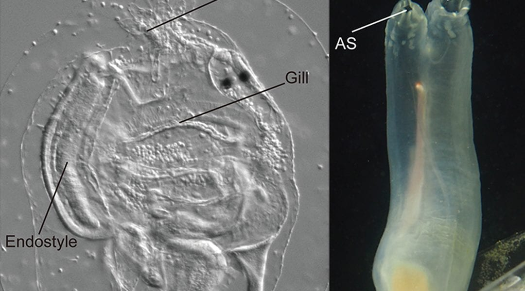 Ascidians: Our Closest Invertebrate Relatives?