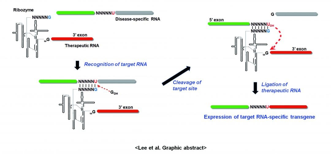 Therapeutic Applications of Group I Intron-Based Trans-Splicing Ribozymes