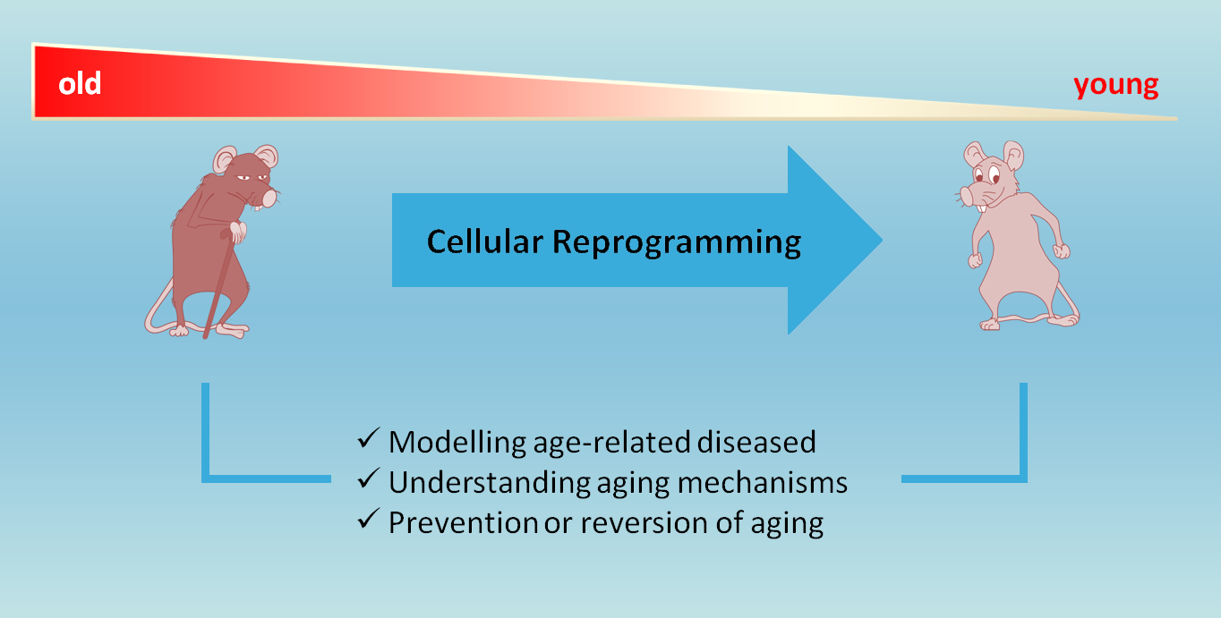 Cellular Reprogramming: A New Way to Understand Aging Mechanisms