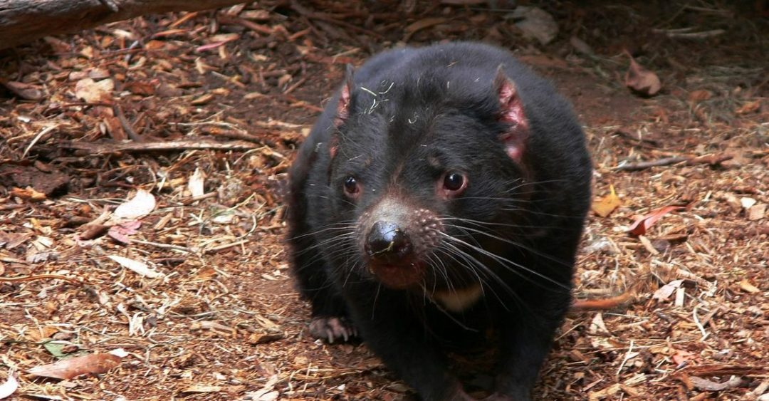 the devil fights back how the tasmanian devil adapts to