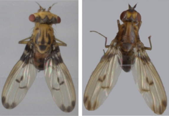 Hawaiian Drosophila: An Ideal Model System for Evolutionary Studies