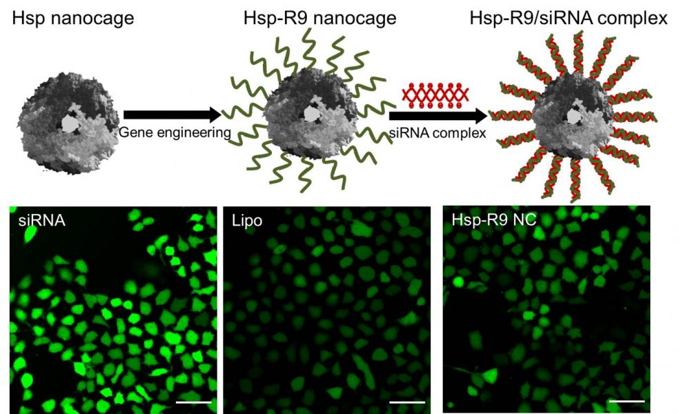 Hsp Protein Nanocages for siRNA Delivery