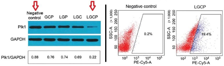 Down-regulation of Plk1 using the new nonviral vector.