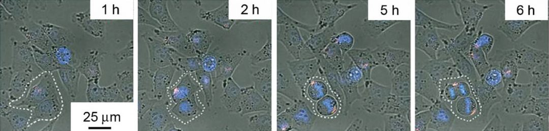 Internalization of the TAT-GN/Cas9/sgPlk1 complex.