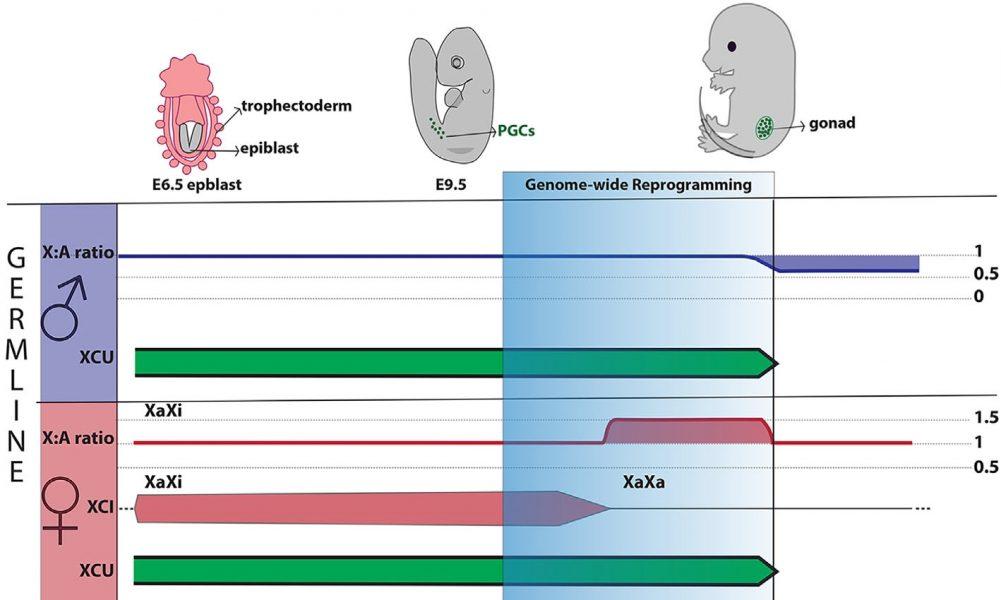 Mammalian X Chromosome Dosage Compensation in the Germ Line