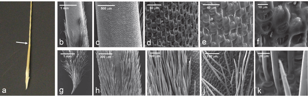 Humidity-Driven Motility in Feather Grass Awns