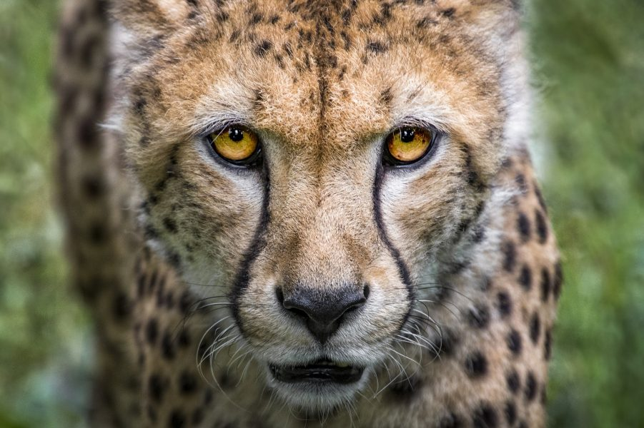 Uncontrolled Tourism is Harming Cheetahs