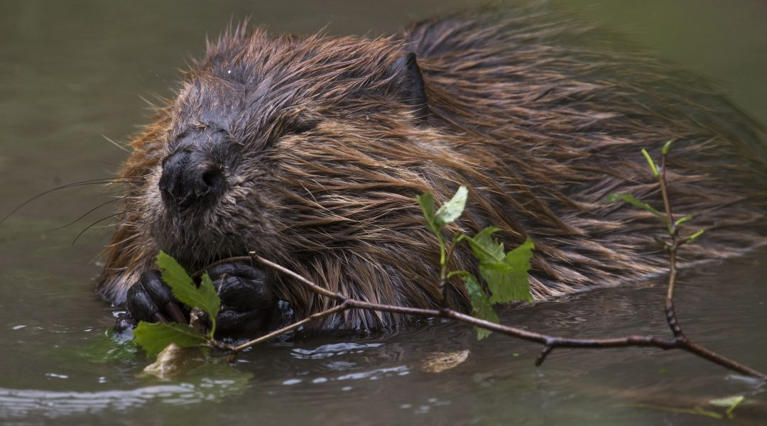 Who Gives A Dam About Beavers?