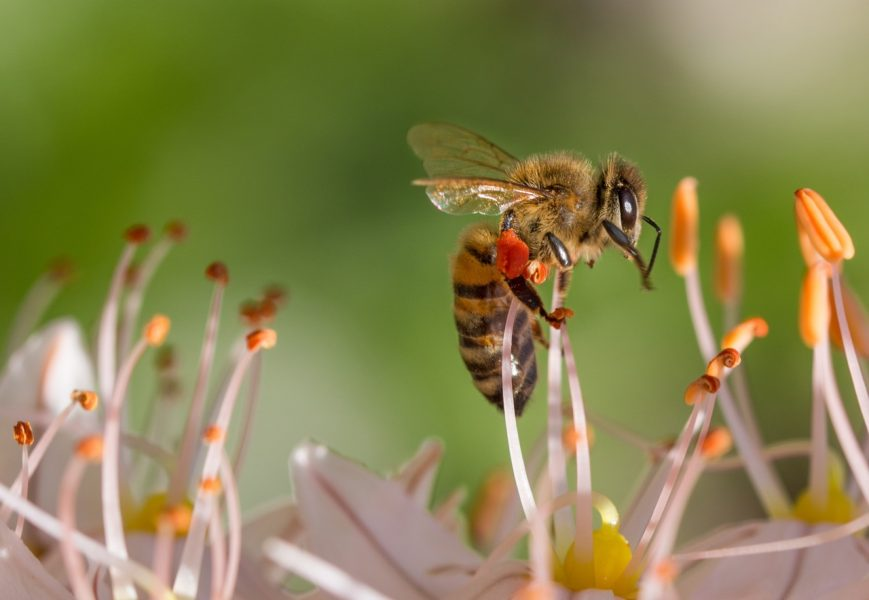 Bee Toxin for Asthma Research
