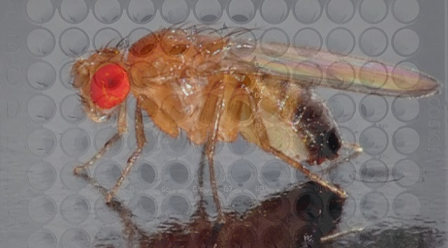Drug Screening in Drosophila: Why Flies?