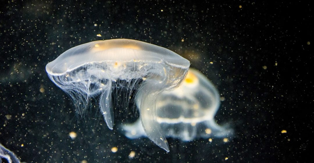 Healing Wounds with Jellyfish