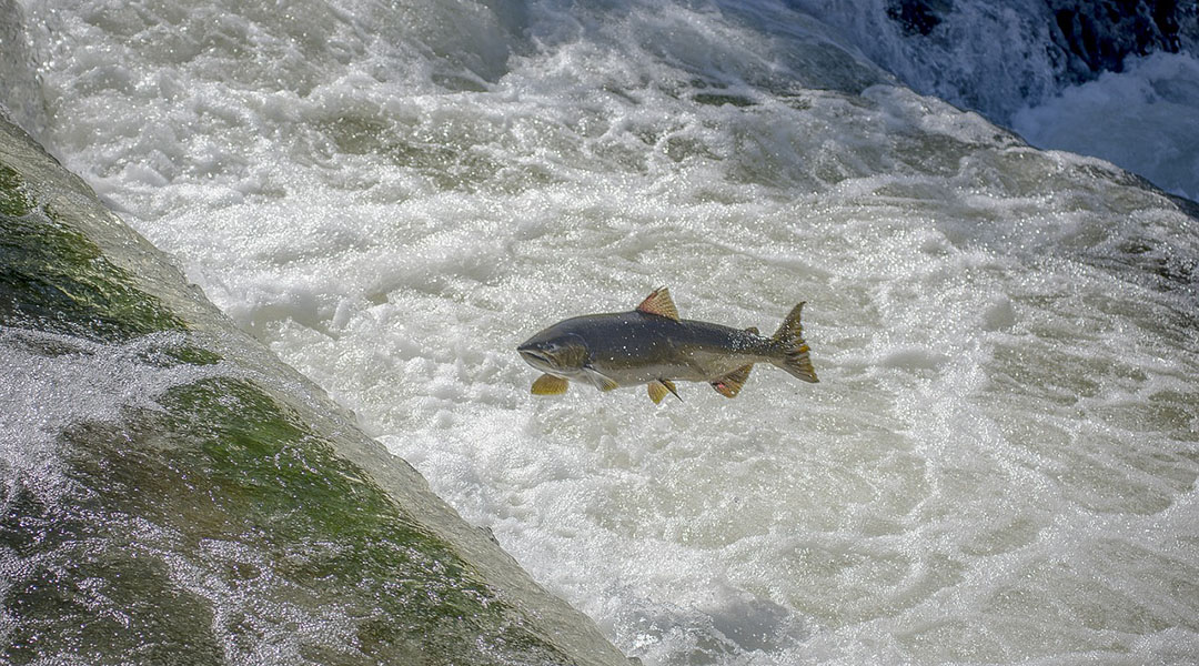 Evaluating Steelhead Migration Barriers with Drone-Based SFM