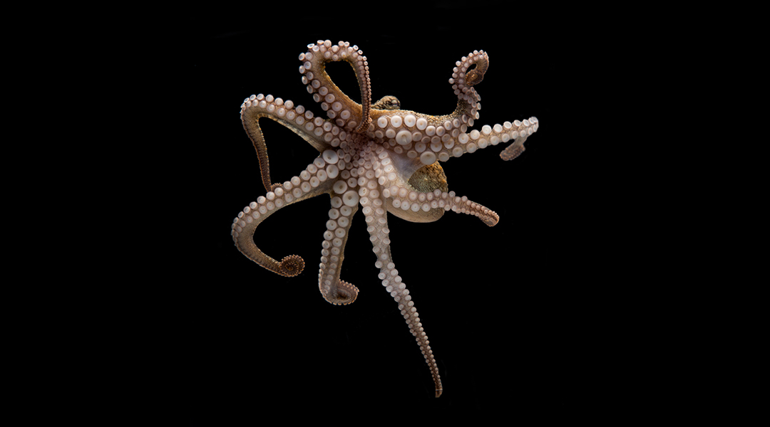 Octopus suckers inspire soft robotic arms